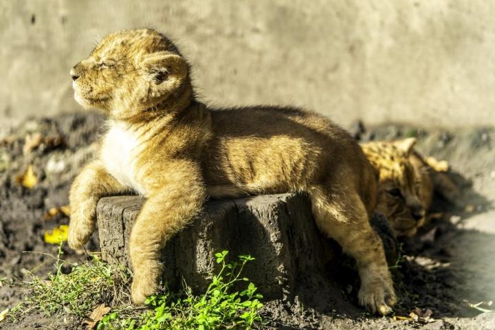 oroszlán, kölyök, születés, nyíregyházi állatpark, nagymacska, ikrek