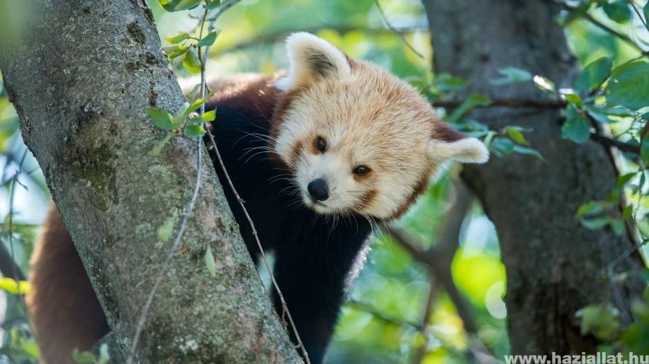Tündéri vörös panda ikrek érkeztek a Pécsi Állatkertbe
