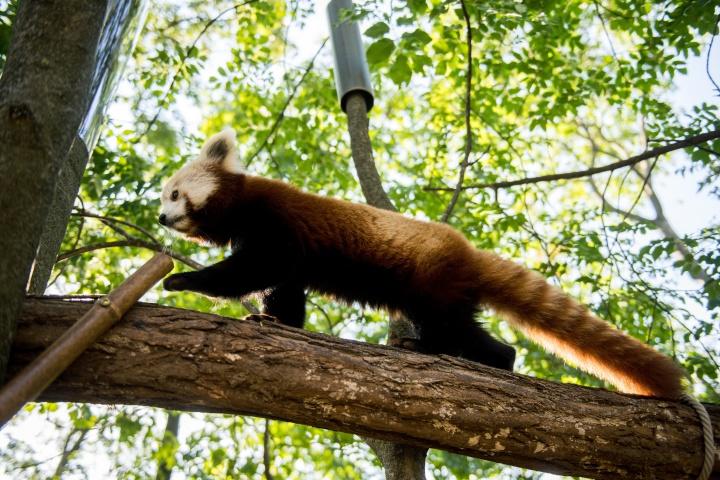vörös panda, ikerpár, Pécs, pécsi állatkert