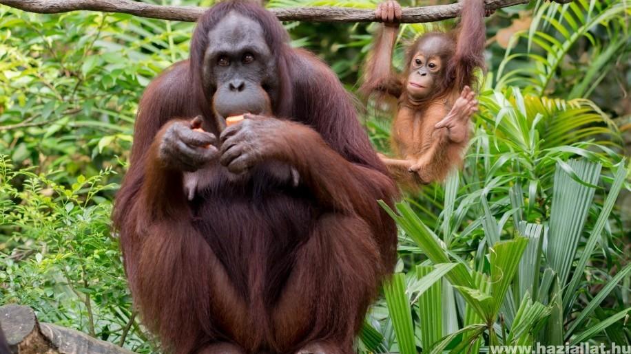 Tündéri orangutánbébi született a Budapesti Állatkertben!