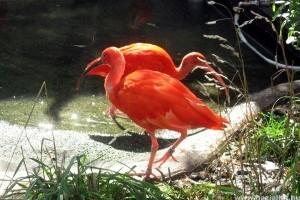Fióka született a skarlát íbiszeknél a Budapesti Állatkertben