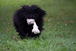 Bálint gazda puli kutyája
