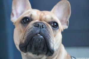Ezért rosszabb a szaglása a rövidebb orrú kutyáknak