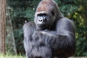 Koronavírus: így fertőződhettek meg a gorillák coviddal