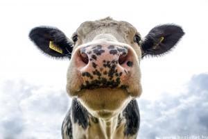 Szívmelengető videó arról, hogy a tehenek is imádják a zenét