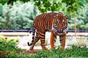 A Netflix Tigrisvilág sorozat tigrisei közül nem egy elpusztult élelem hiányában