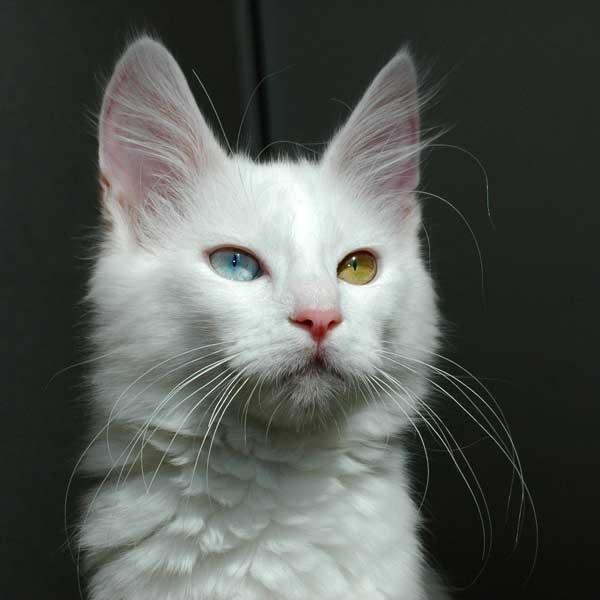török angóramacska, cica, cicafajta, macskafajta