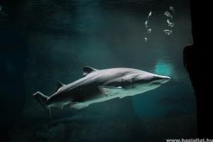 A cápák csodálatosabbak mint gondolnád! Elképesztő módon tájékozódnak