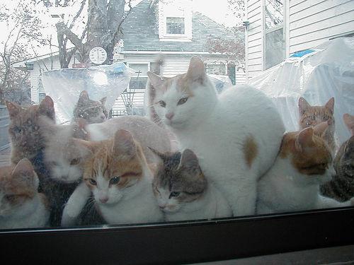 sok-cica