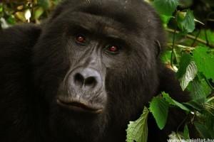 Szívszorító, ahogy ez a gorillamama reagált egy babára az állatkertben - videó!