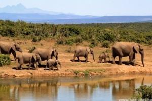 Szomorú felvételeken a zavarodott elefántcsorda, akik egy várost taroltak le