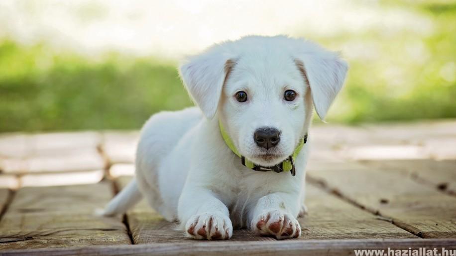 Miért néz a kutya a szemünkbe?