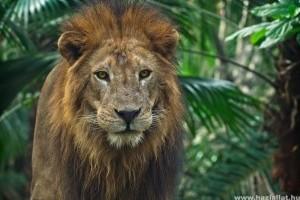 Koronavírus fertőzés miatt halt meg egy oroszlán