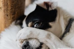 Miért nyújtózkodik a kutya?