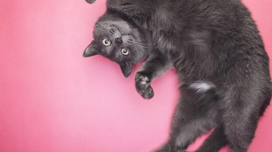 Cicamustra, avagy milyen fajtájú cicák a macskás videók sztárjai? (x)
