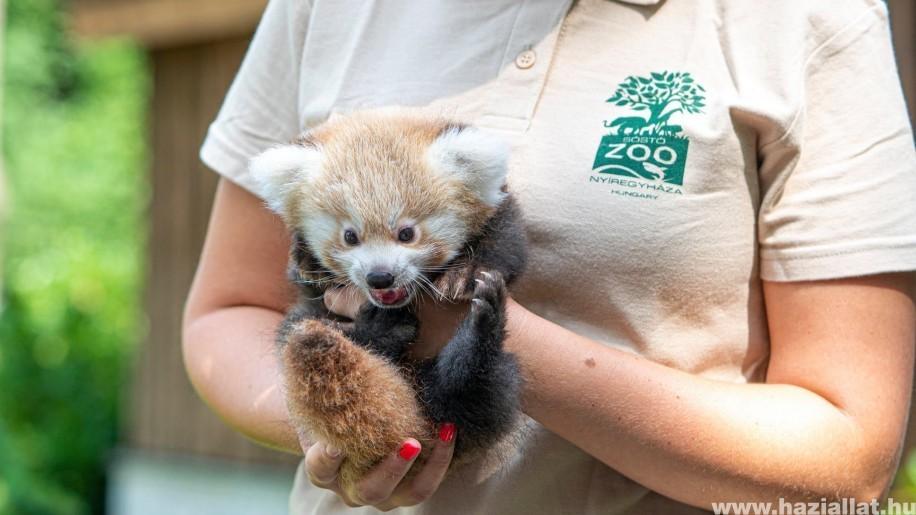 Ennyi cuki vörös panda kölyök született Nyíregyházán - fotók!