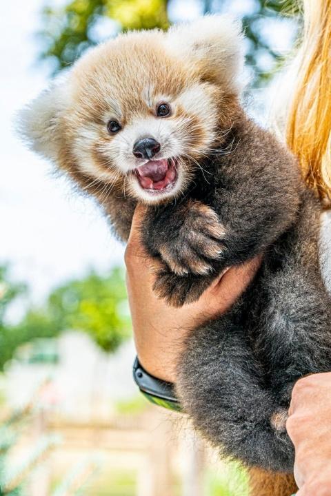 panda, vörös panda, nyíregyháza, kölyök