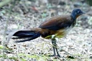 Ez a madár elképesztő módon utánozza a gyereksírást