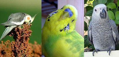 madár, díszmadár, gyerekbarát