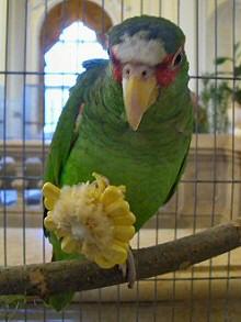 zold-papagaj