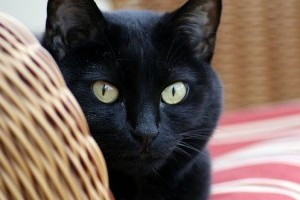 Megdőlhetnek a fekete macskás hiedelmek
