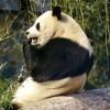 Mi történik, ha a panda tüsszent?