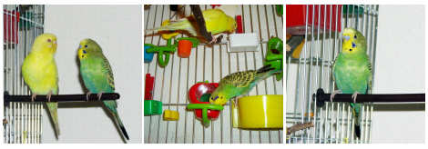 papagaj-eteto