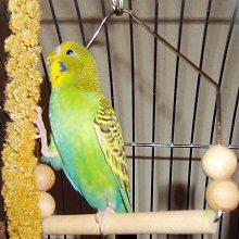 papagaj-a-hintan