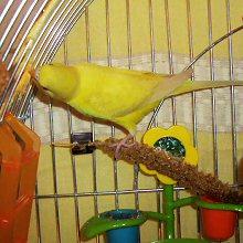 papagaj-ketrec