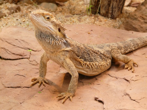 bearded-dragon-77078_1280