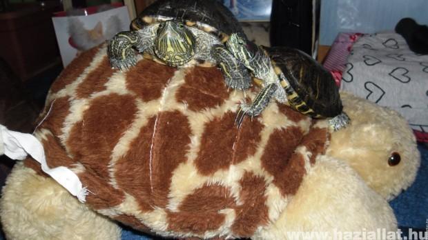 Teknősök a teknősön