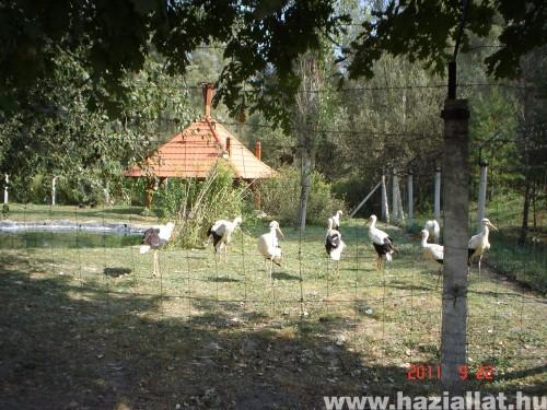 Állatkerti gólyák