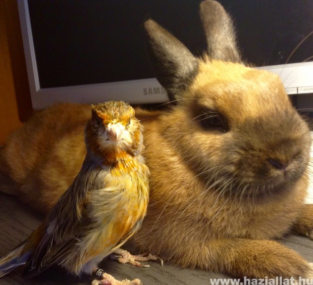 Terike a holland nyúl és barátja Gáspárka