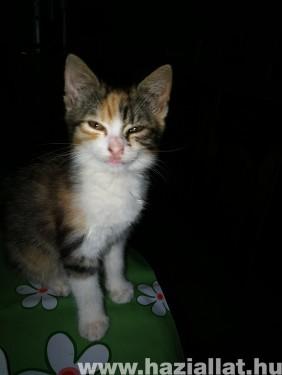 Nyafi cica