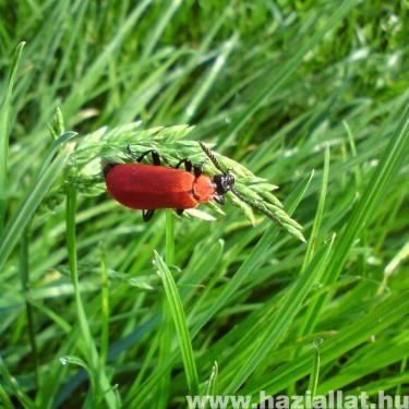 a szép piros bogár