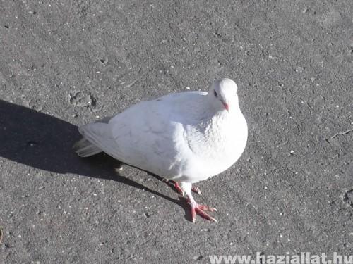 a magányos fehér galamb