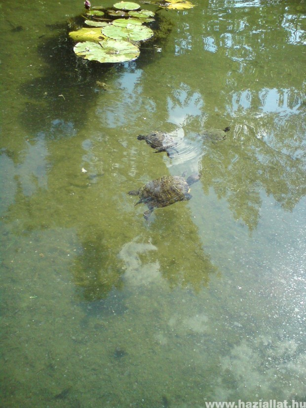 szinkronúszás teknőséknél