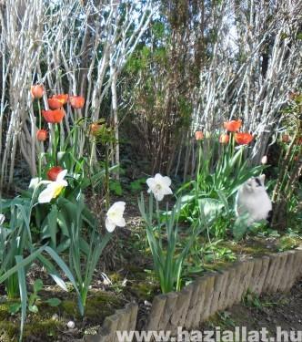 Fehér cica tulipánok között