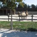 Kétpúpú teve