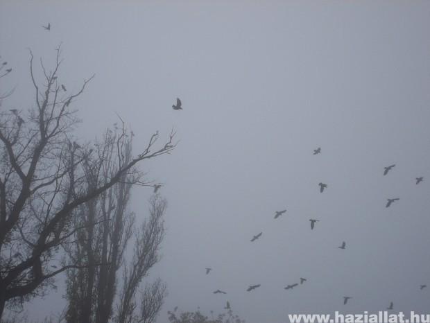 varjak a ködben