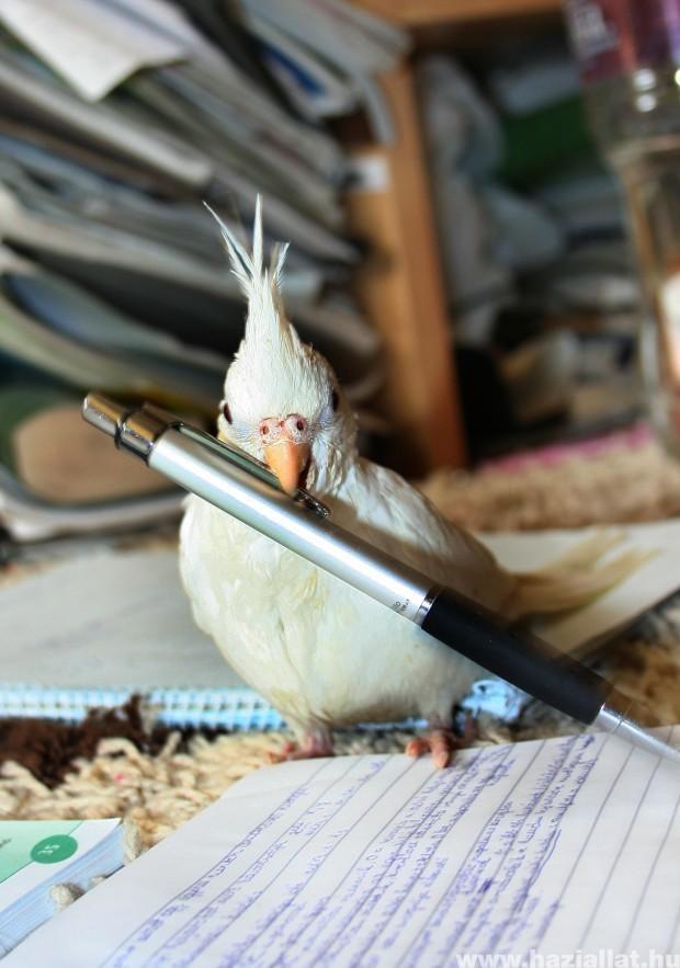 Viszem a tollad!