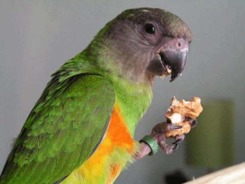 Papagájeleség